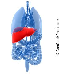 highlighted liver - 3d rendered illustration of human organs...