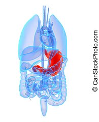 highlighted stomach - 3d rendered illustration of human ...