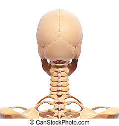 Human skull with spinal cord - 3d rendered illustration of...