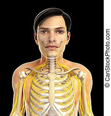 male nervous system
