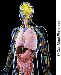 3d rendered illustration of the male anatomy