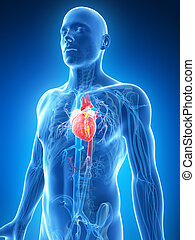 3d rendered illustration of the male heart