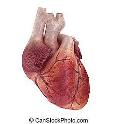 human heart - 3d rendered medical illustration of a human ...