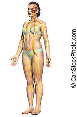 3d rendered medically accurate illustration of a female nervous system