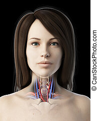 vascular throat anatomy - 3d rendered medically accurate...