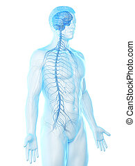 a mans nervous system - 3d rendered medically accurate ...