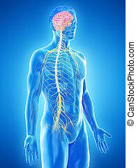 a mans nervous system