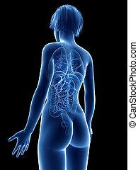 a womans anatomy