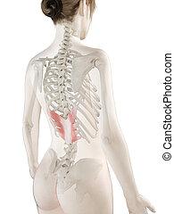 a womans Serratus Posterior Inferior - 3d rendered medically...