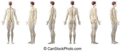 mans nervous system