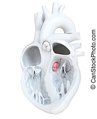 the aortic valve - 3d rendered medically accurate...