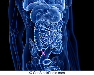 the appendix - 3d rendered medically accurate illustration ...