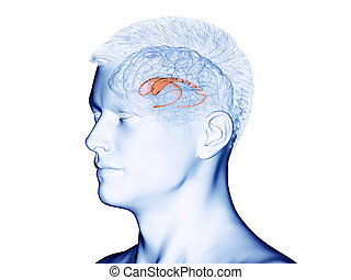 the caudate nucleus - 3d rendered medically accurate ...