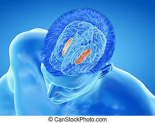 the brain anatomy - the putamen - 3d rendered medically ...
