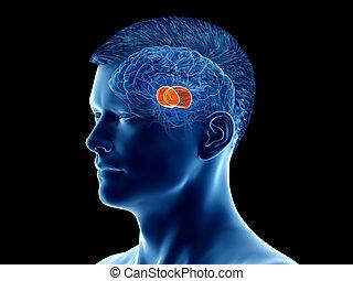 the brain anatomy - the thalamus - 3d rendered medically ...