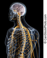 the brain and nervous system - 3d rendered medically ...