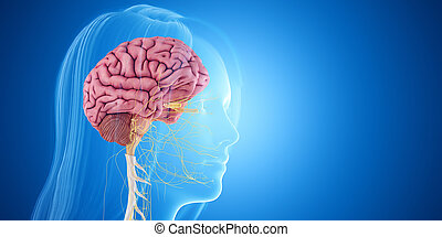 the brain - 3d rendered medically accurate illustration of ...
