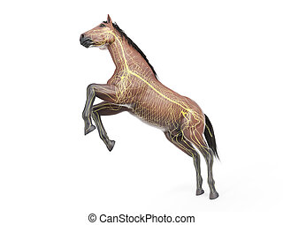 the equine anatomy - the nervous system - 3d rendered ...