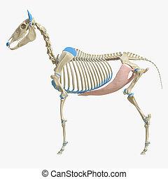 Obliquus Externus Abdominis - 3d rendered medically accurate...