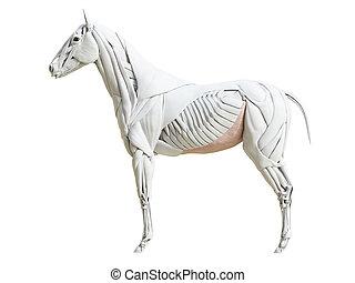 the equine muscle anatomy - obliquus externus - 3d rendered...