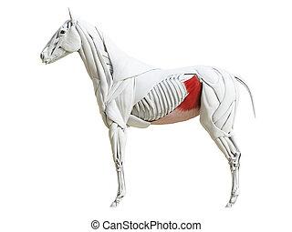 the equine muscle anatomy - obliquus internus - 3d rendered...