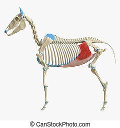 Obliquus Internus Abdominis - 3d rendered medically accurate...
