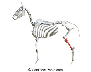the equine skeleton - tibia - 3d rendered medically accurate...