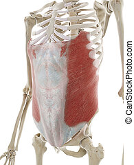 the external oblique abdominal muscle - 3d rendered ...