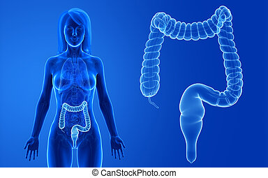 the female colon - 3d rendered medically accurate ...