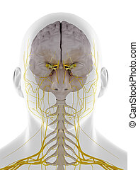 the frontal view of the dura mater - 3d rendered medically ...