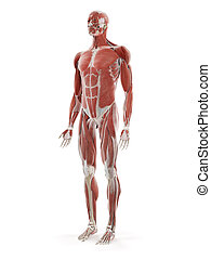 the human muscle system - 3d rendered medically accurate ...