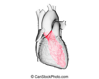 the left ventricle - 3d rendered medically accurate ...