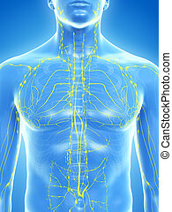 the lymphatic system - 3d rendered medically accurate ...
