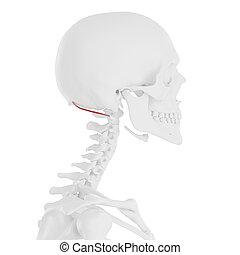 the Obliquus Superior Capitis - 3d rendered medically...