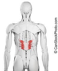 the serratus posterior inferior - 3d rendered medically...