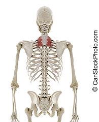 the serratus posterior superior - 3d rendered medically ...