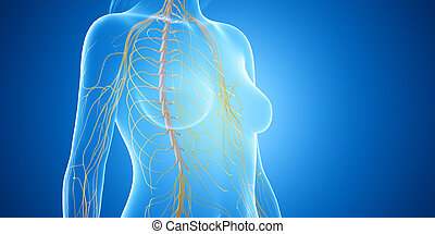 the spinal cord - 3d rendered medically accurate ...