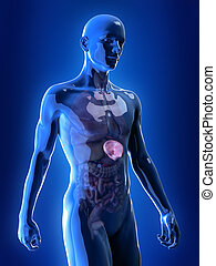 the spleen - 3d rendered, medically accurate illustration of...