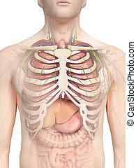 the thorax anatomy