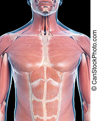 thorax muscles - 3d rendered medically accurate illustration...