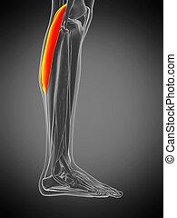 anatomy illustration - gastrocnemius