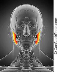 anatomy illustration - masseter superior - 3d rendered ...