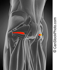 anatomy illustration - superior gemellus - 3d rendered ...