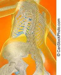 skeletal back - 3d rendered x-ray illustration of a human...