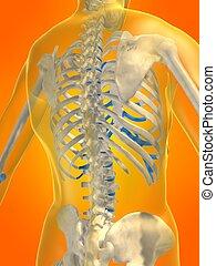 skeletal back