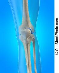 skeletal knee