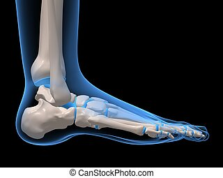 3d rendered x-ray illustration of human skeletal foot