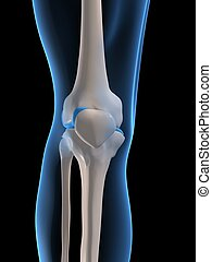 skeletal knee - 3d rendered x-ray illustration of human...