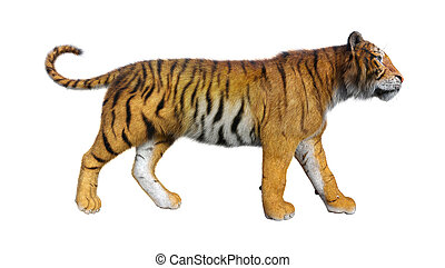 royal bengal tigers illustrations and clipart 59 royal bengal rh canstockphoto com bengal tiger head clipart bengal tiger clipart black and white