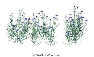 3D Rendering Cornflowers on White